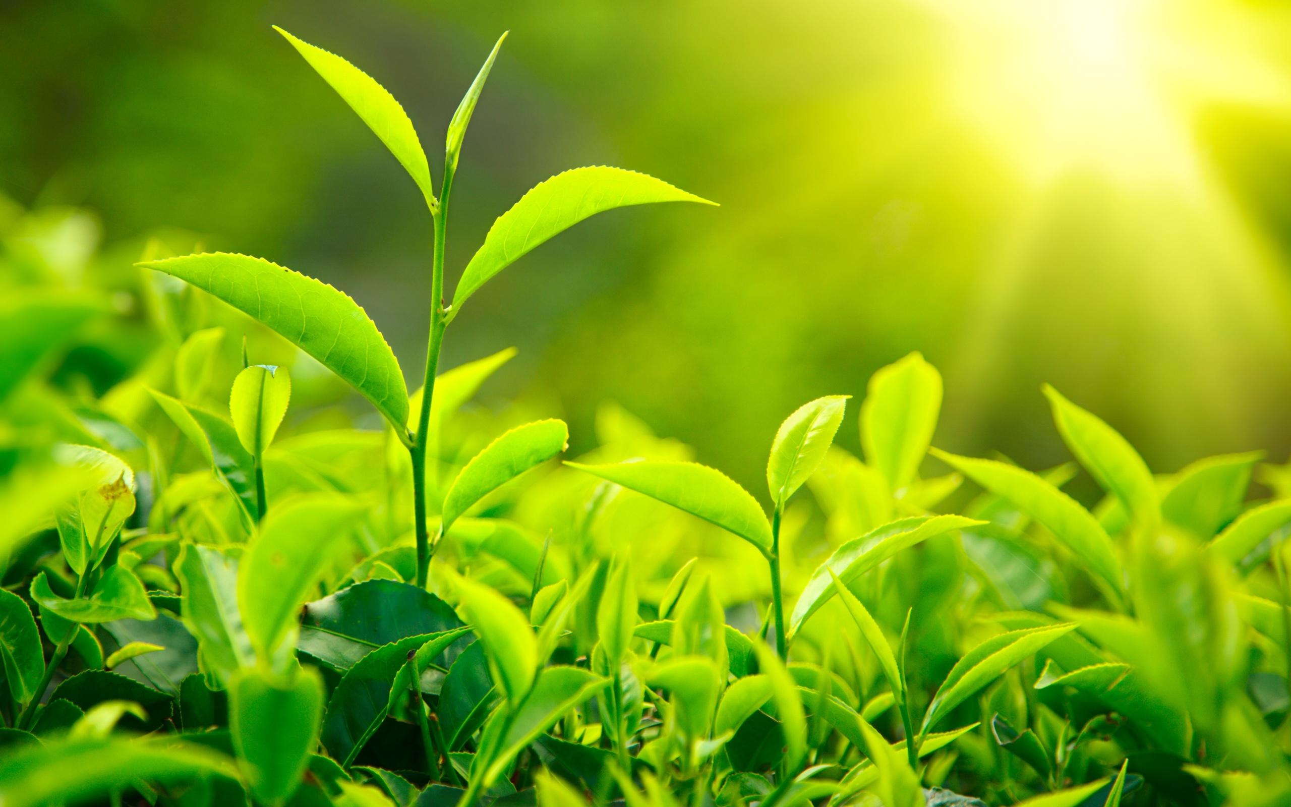 fresh-green-tea-leaves-sunlight_2560x1600